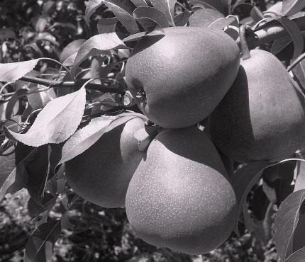 Block Key Deciduous Fruit Statistics