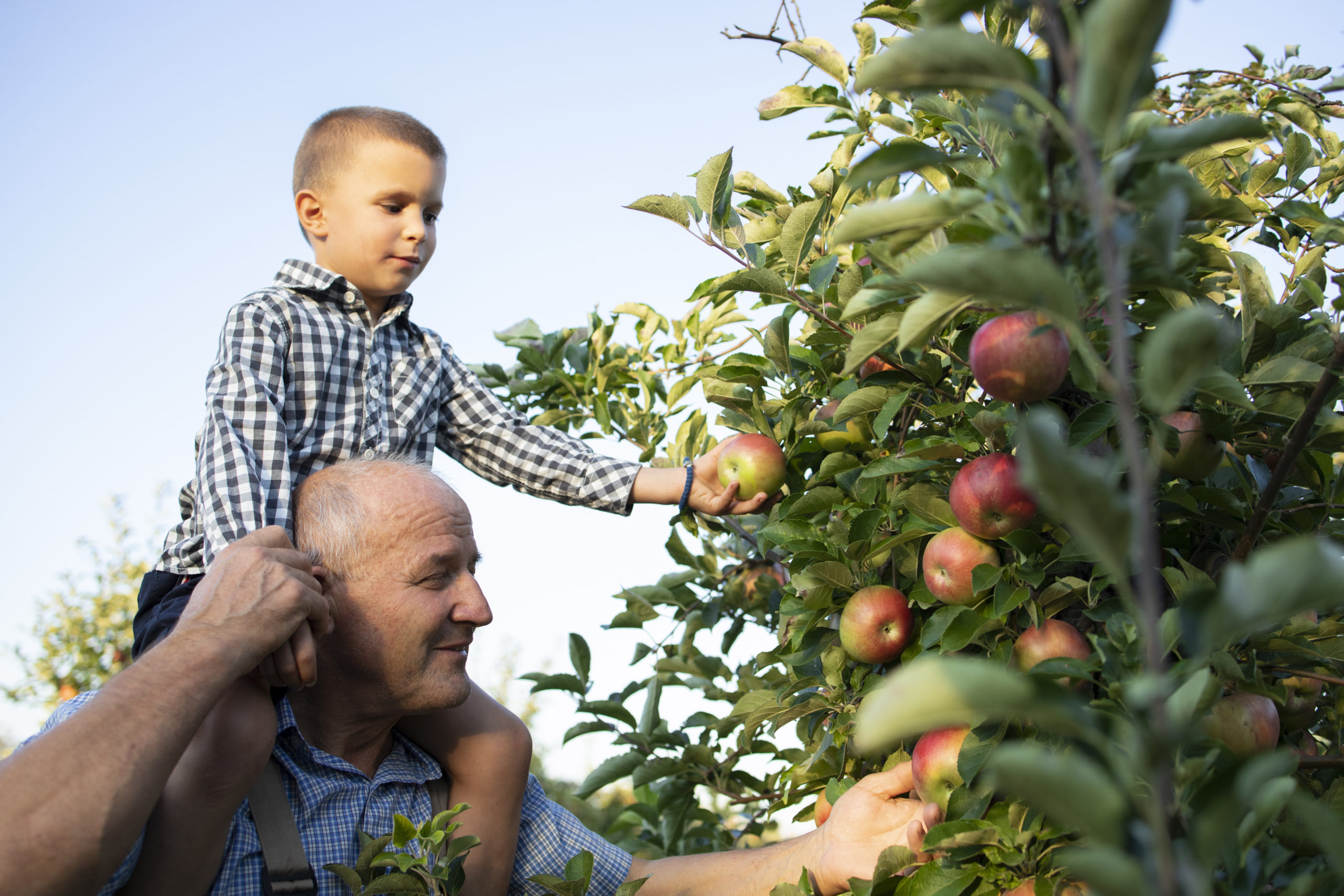 Grandfather Carrying His Grandson Piggyback And Picking Apples Together In Fruit Orchard.